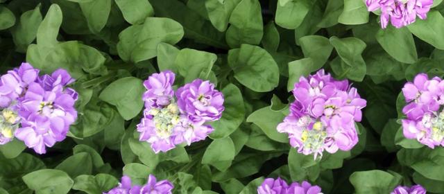 Ledlicht bij zomerbloemen werkt  wel, maar rendeert nog niet