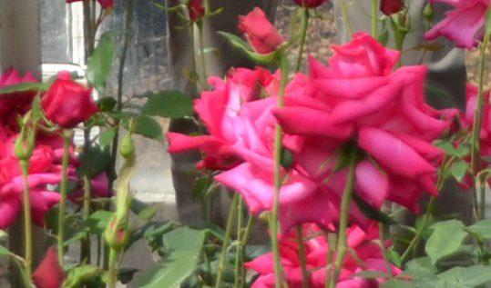 Renovatie rozenkas Historische Tuin Aalsmeer belangrijk voor toekomst